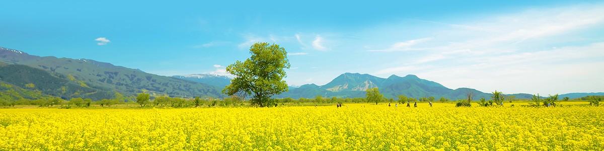 (C)飯山観光局「千曲川の菜の花」
